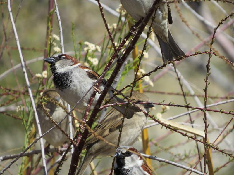 Picture of House sparrow