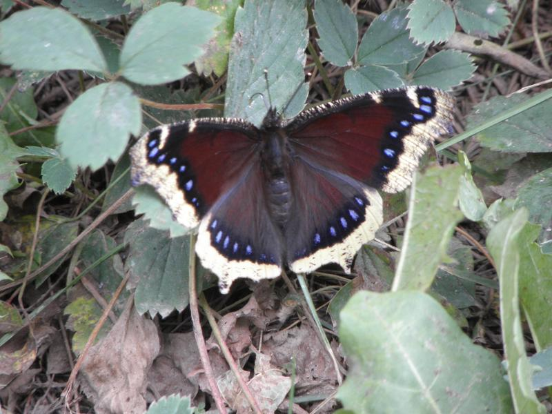 Picture of Mourning cloak