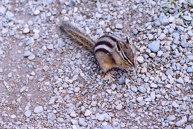 Picture of Least chipmunk