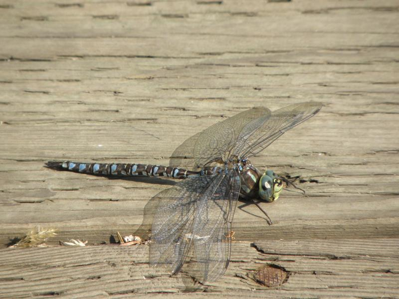Picture of Paddle-tailed darner