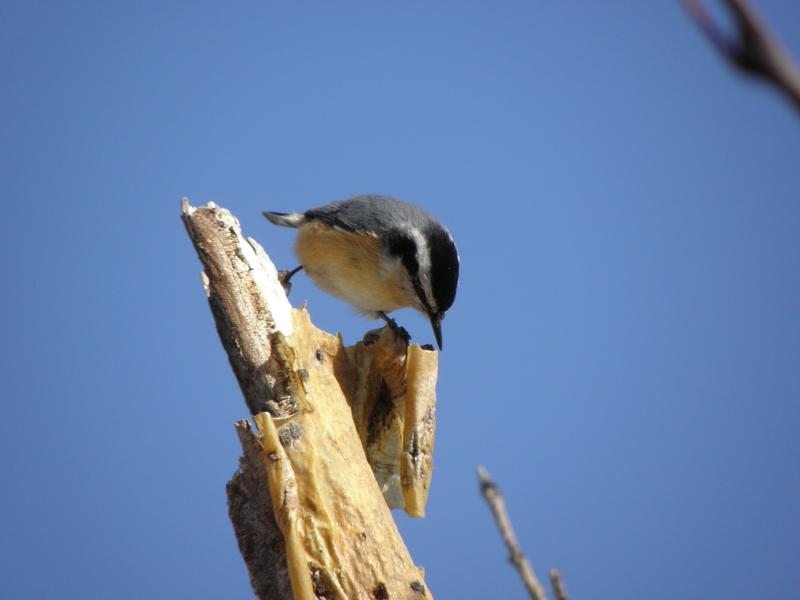 Picture of Red-breasted nuthatch