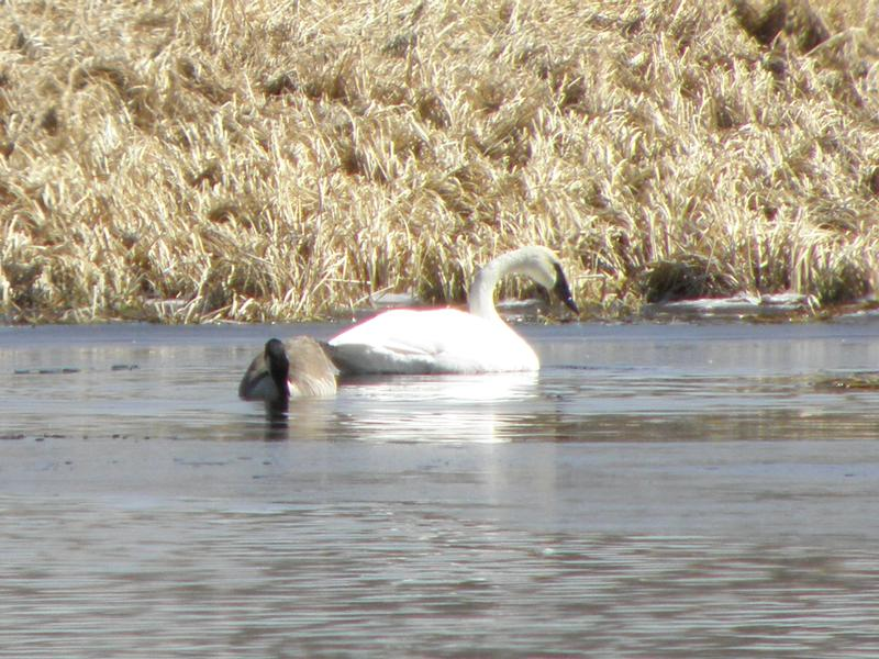 Picture of Trumpeter swan