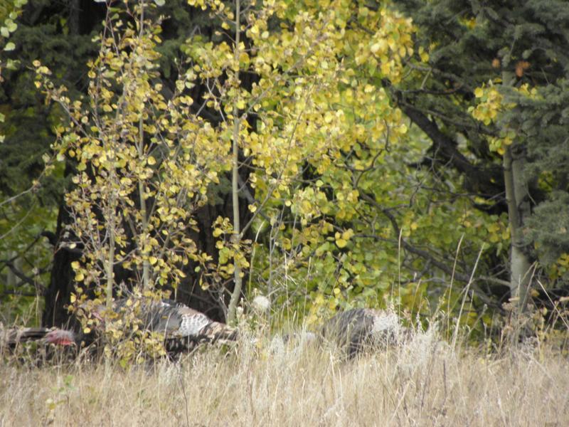 Picture of Wild turkey