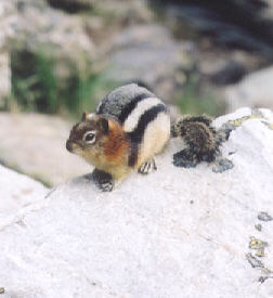 Picture of Golden-mantle ground squirrel