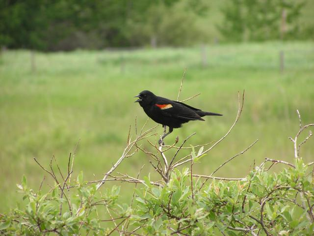 Picture of Red-winged blackbird