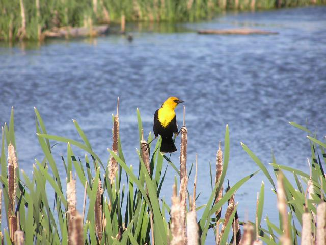 Picture of Yellow-headed blackbird