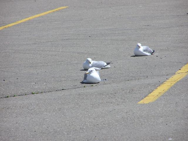 Picture of California gull