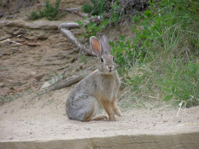 Picture of Nuttall's cottontail