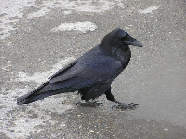 Picture of Raven