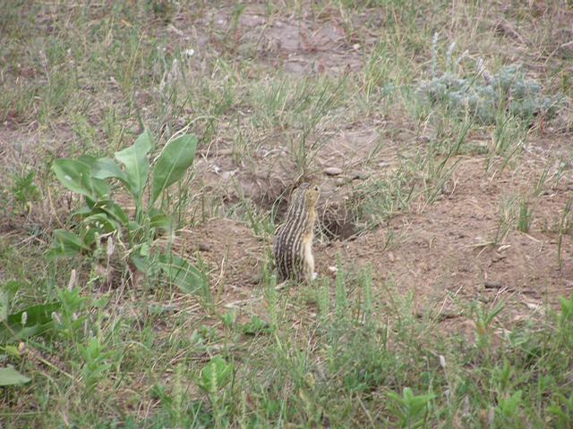 Picture of Thirteen-lined ground squirrel
