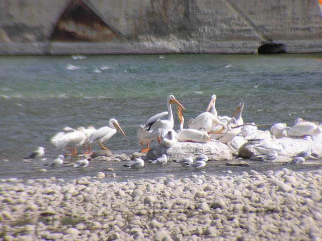 Picture of American white pelican
