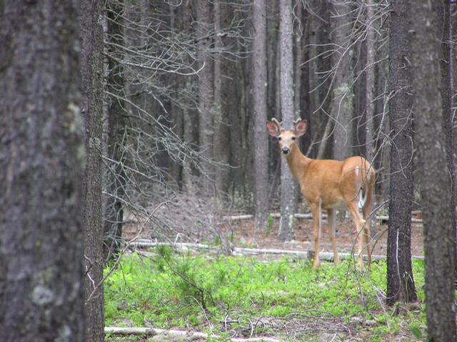 Picture of White-tailed deer