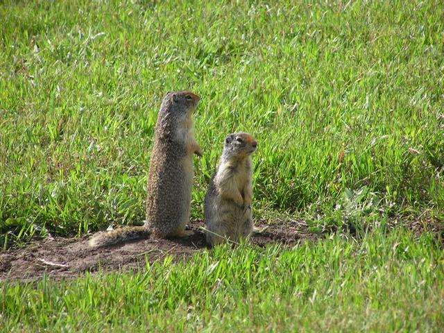 Picture of Richardson's ground squirrel