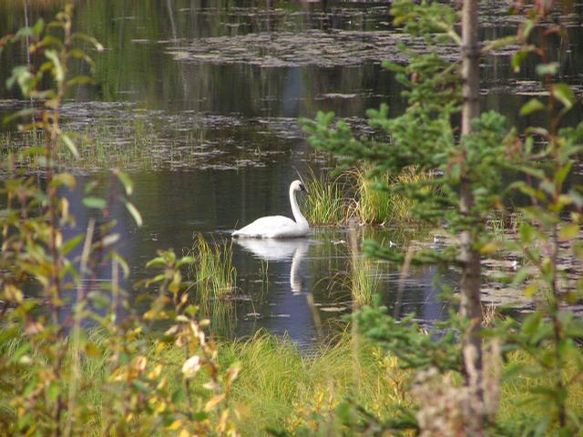 Picture of Tundra swan