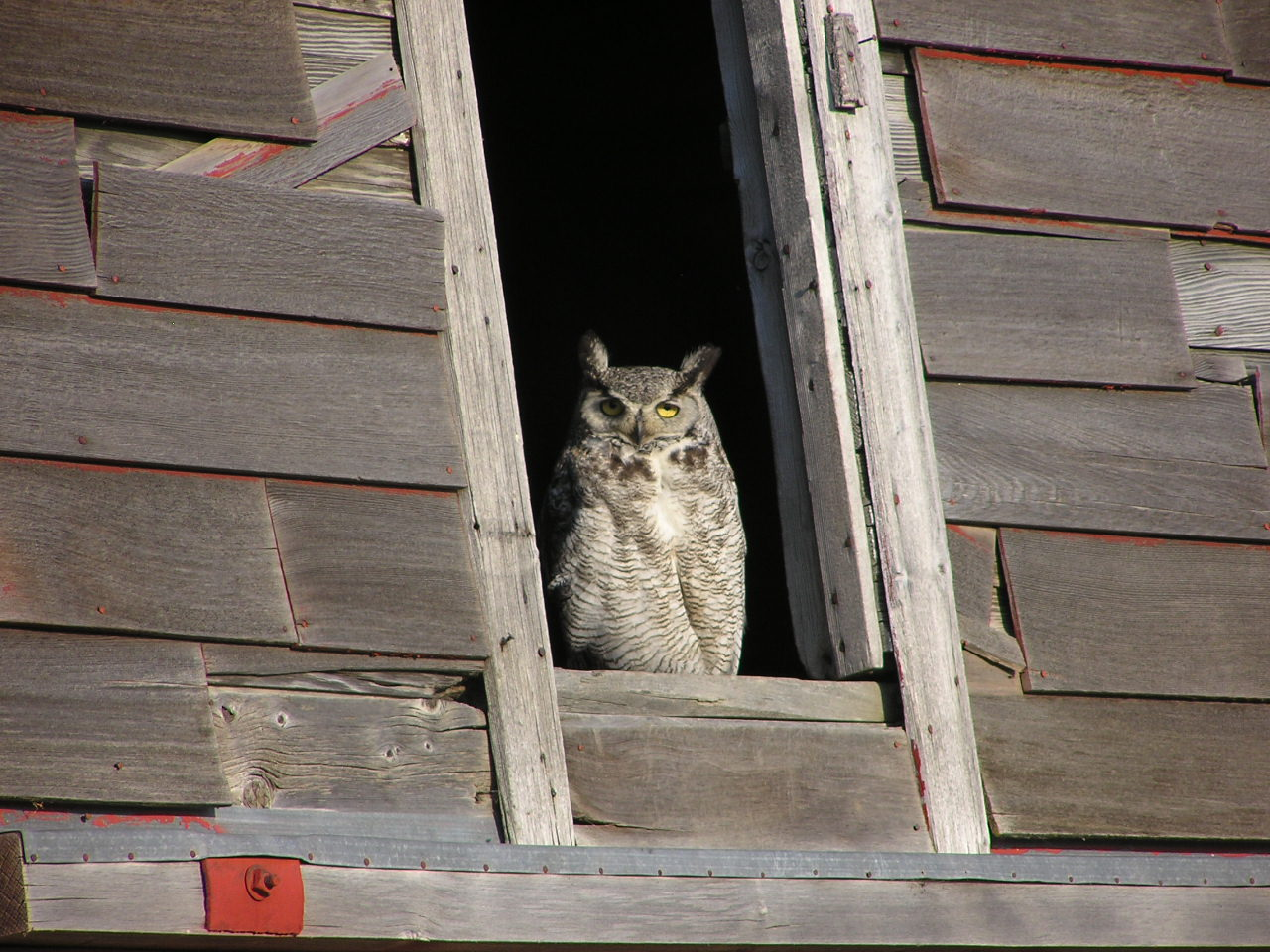 Picture of Great horned owl