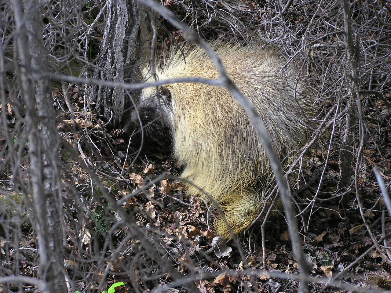 Picture of Porcupine
