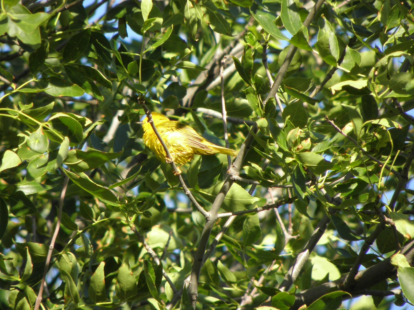 Picture of Yellow warbler