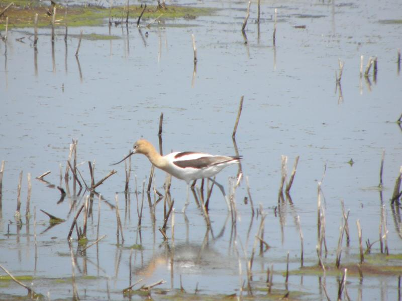 Picture of American avocet