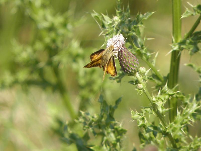 Picture of Woodland skipper