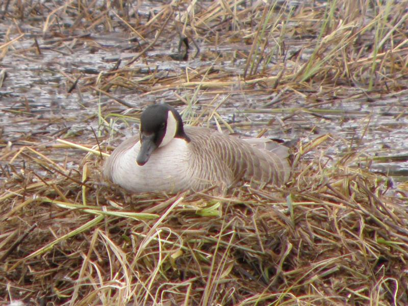 Picture of Canada goose