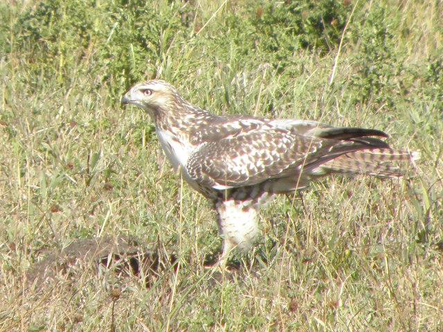 Picture of Prairie falcon