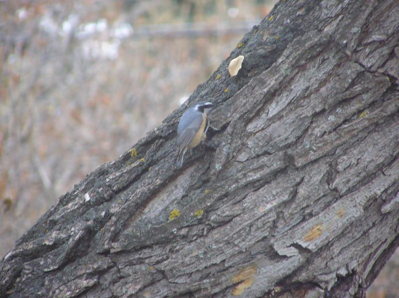 Picture of Red breasted nuthatch