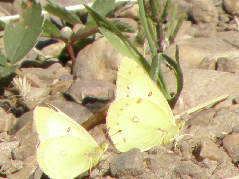 Picture of Alfalfa butterfly