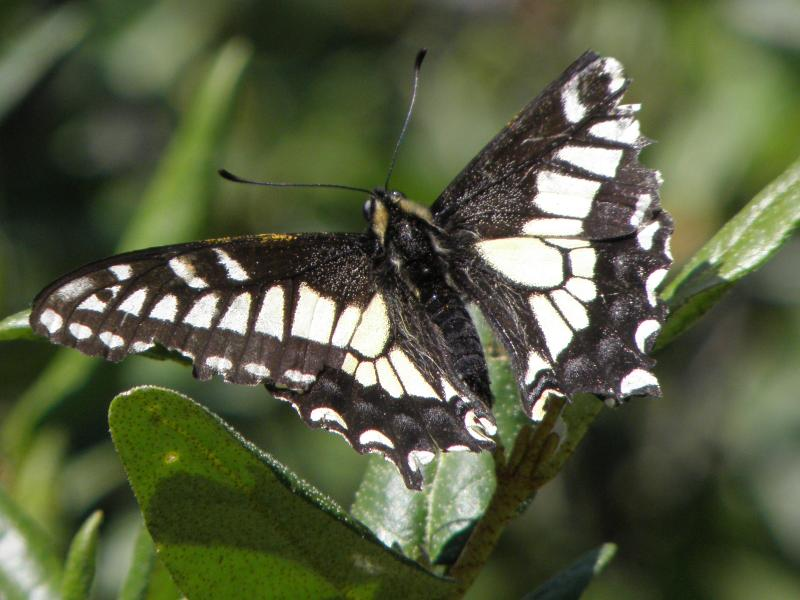 Picture of Anise swallowtail