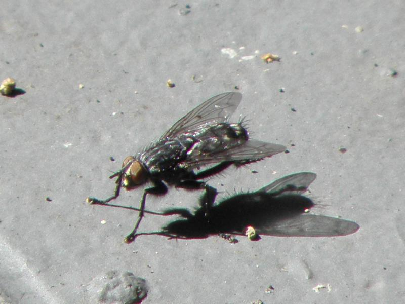 Picture of Anthyomid fly