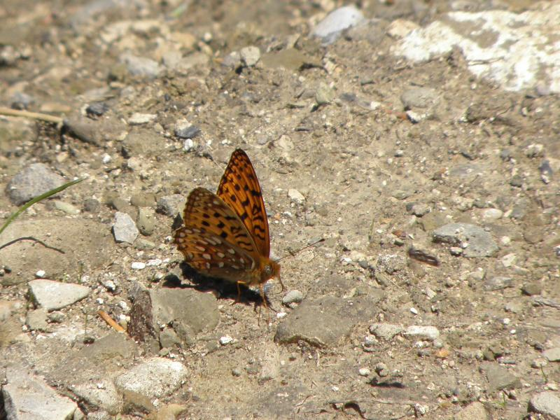 Picture of Aphrodite fritillary