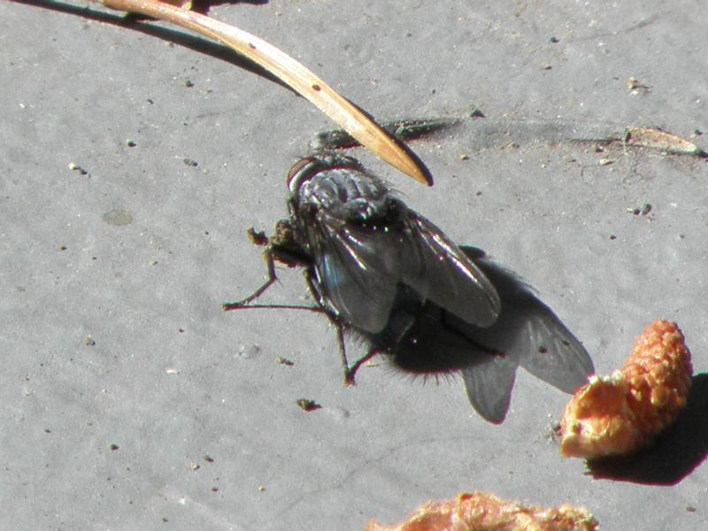 Picture of Blue bottle fly