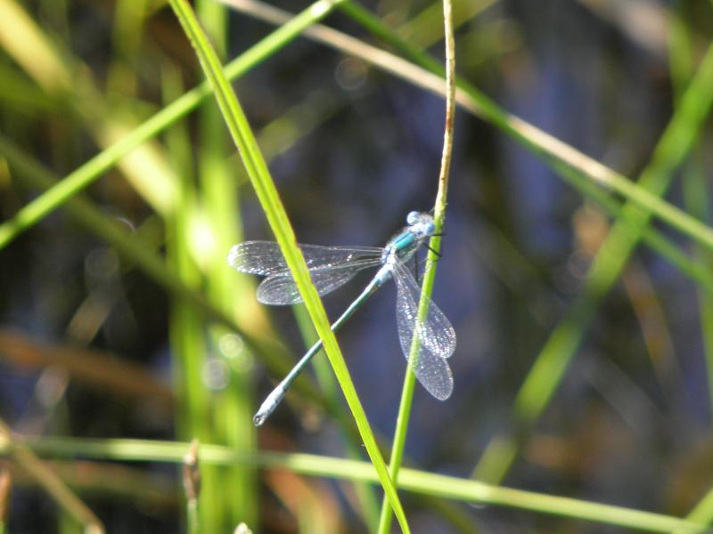 Picture of Boreal bluet