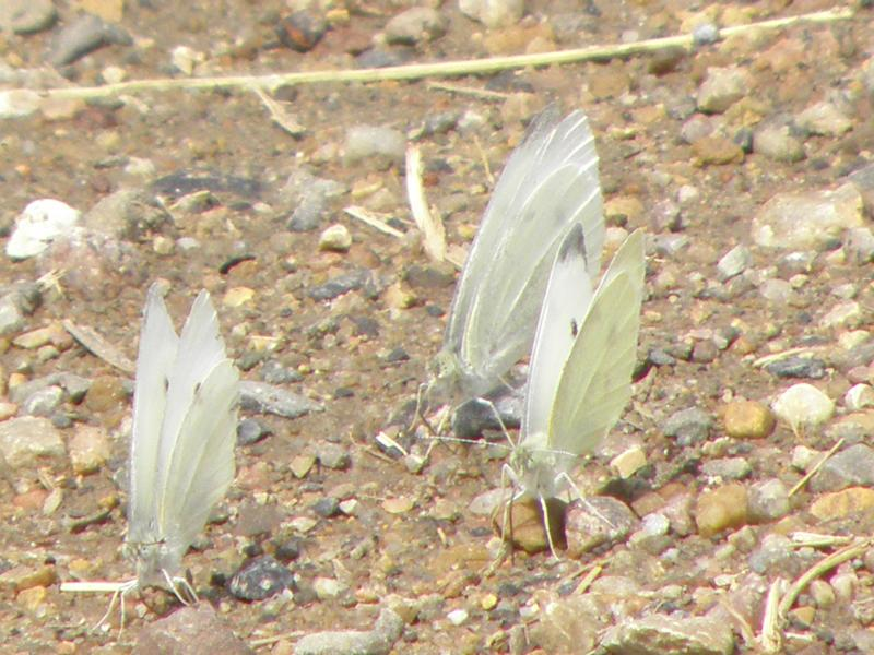 Picture of Cabbage butterfly
