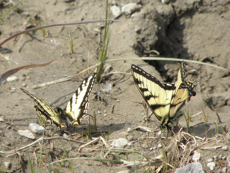 Picture of Canadian tiger swallowtail