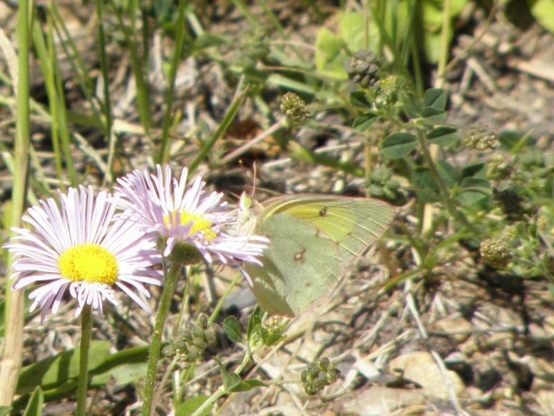 Picture of Clouded sulphur