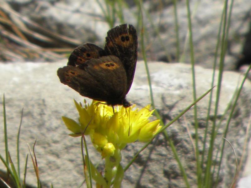 Picture of Common alpine