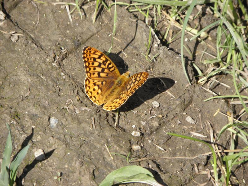 Picture of Common fritillary