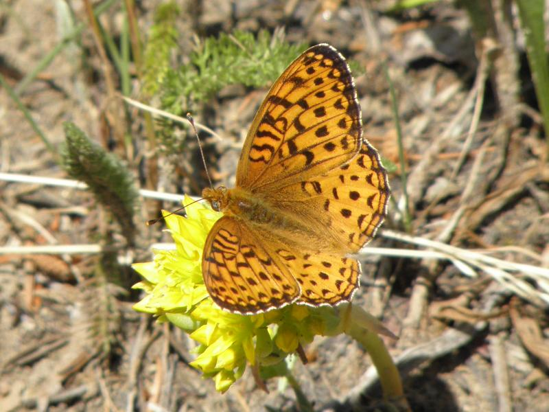 Picture of Edward's fritillary