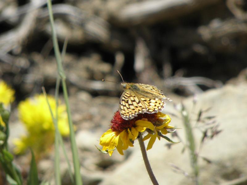 Picture of Egleis fritillary