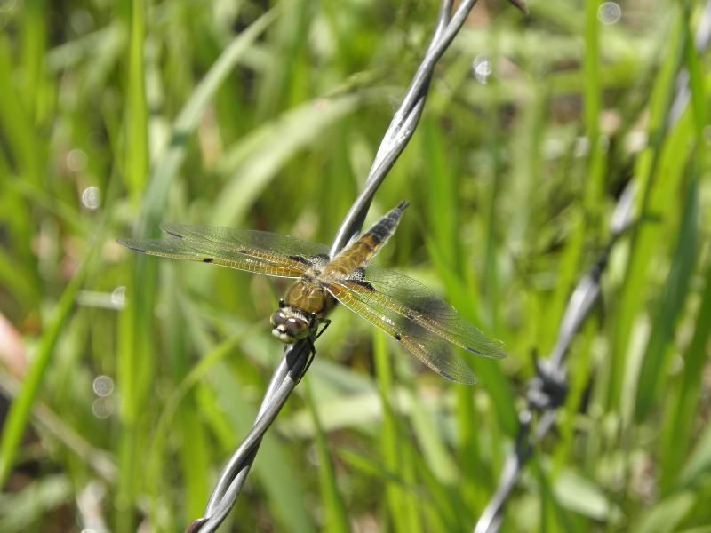 Picture of Four-spotted skimmer