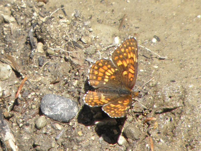 Picture of Northern checkerspot