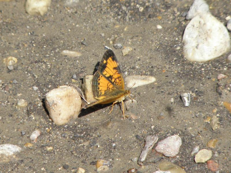 Picture of Northern pearl crescent