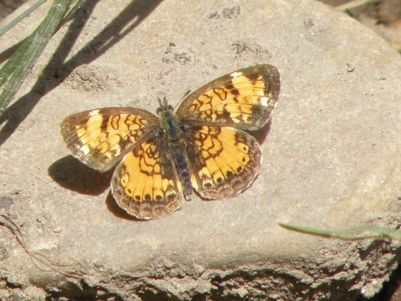 Picture of Pearl crescent