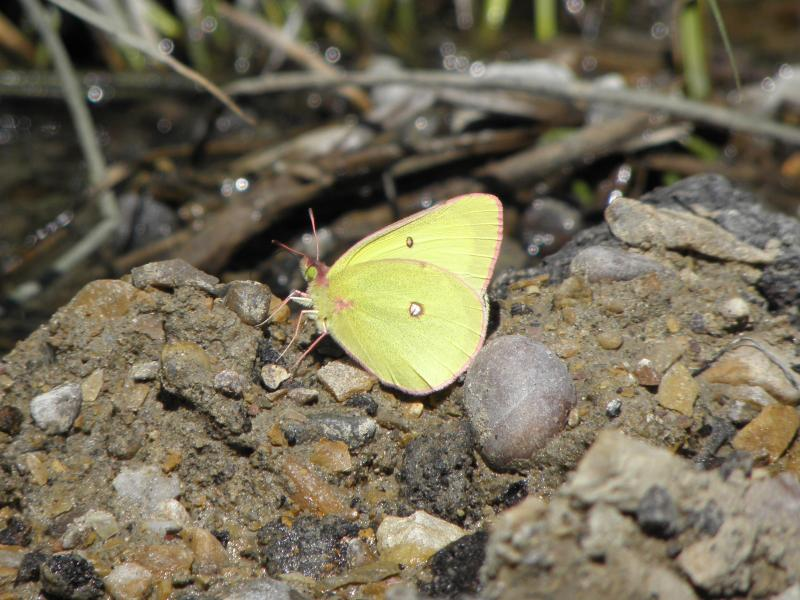 Picture of Pink-edged sulphur