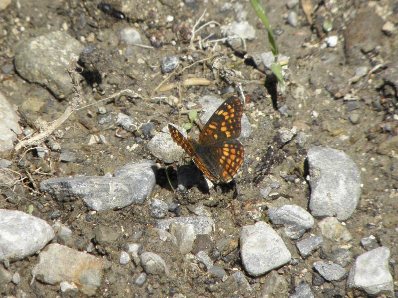 Picture of Rockslide checkerspot