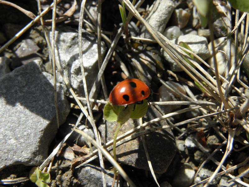 Picture of Seven-spot lady beetle