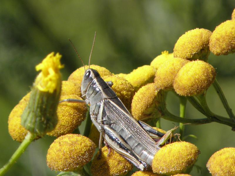 Picture of Two-striped grasshopper