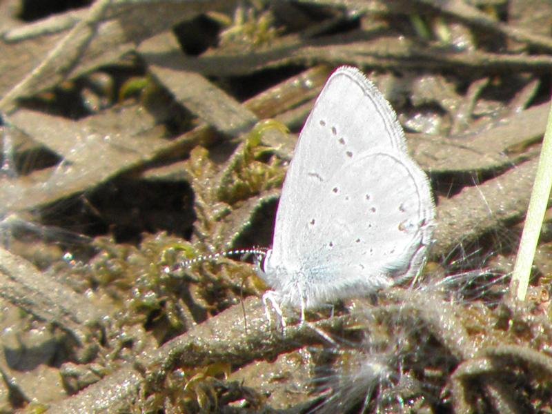 Picture of Western tailed blue