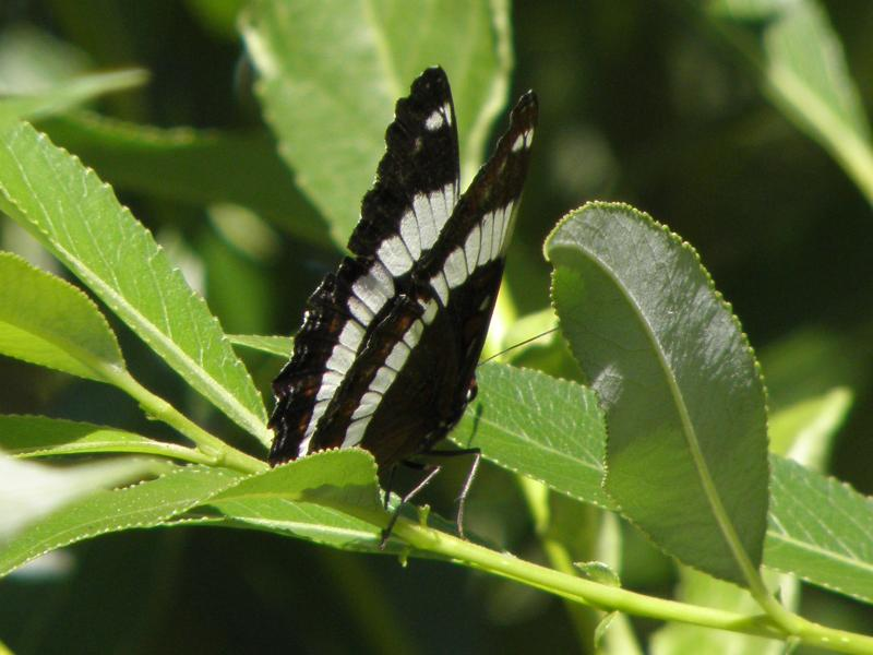Picture of White admiral