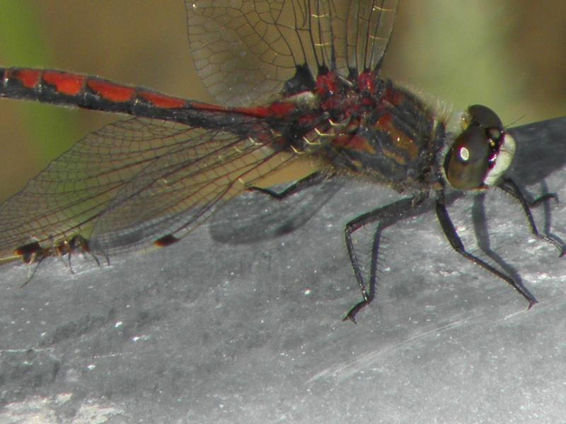 Picture of White-faced meadowhawk
